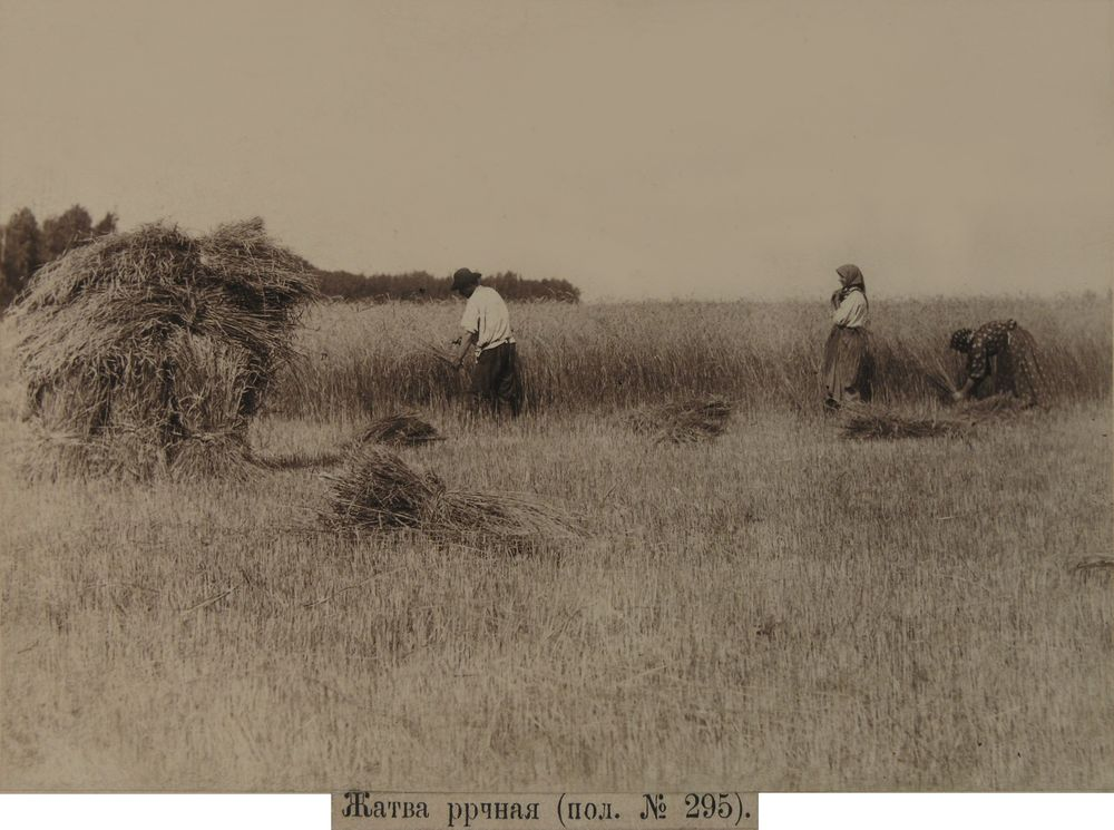 Жатва серпомФотография А.И.Кочешева. конец XIX.
