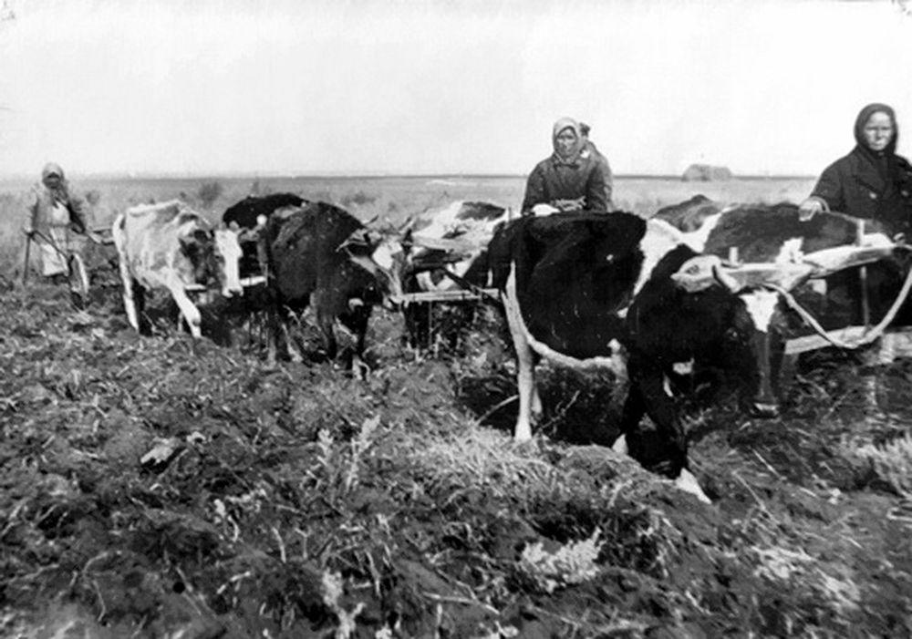Пахота на коровах. Курганская область. 1942 г